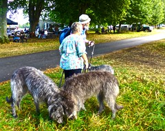 dog sports(0.0), animal sports(0.0), hound(0.0), sighthound(0.0), sports(0.0), animal(1.0), dog(1.0), scottish deerhound(1.0), pet(1.0), mammal(1.0), irish wolfhound(1.0), dog walking(1.0),