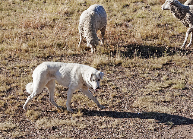 Sheep dog 300915_20d_2650