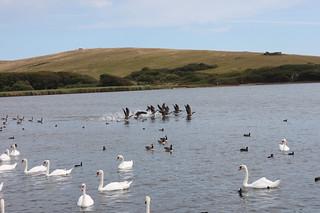 20150807_0509-Abbotsbury-geese-flight_resize