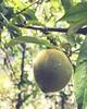 Peach by Romii_Mac