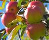 Vermont apples
