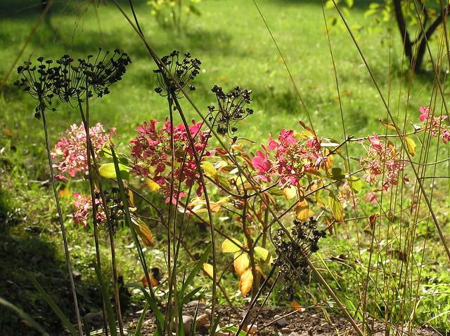 Hydrangea paniculata 'Diamant Rouge' & Allium cernuum seed heads