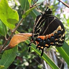 palamades swallowtail