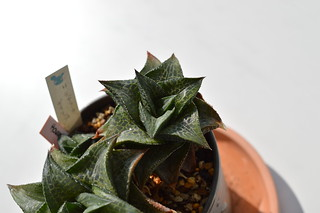 DSC_0519 Haworthia tessellata  Gamoep