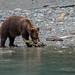 Feeding Grizzly by fascinationwildlife
