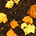 Small photo of American Sycamore Leaves