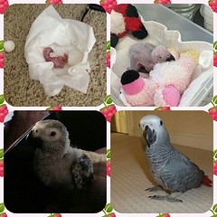 We are adopting a new baby!! I'm so excited. #parrots #babyparrot #conhoafricangrey #babyafricangreys #_instabirds_