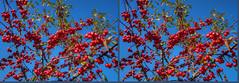 Wild Apples of November in Stereo