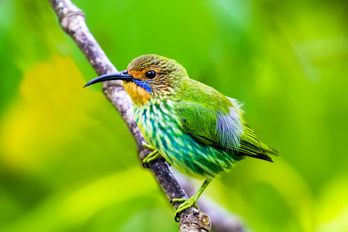 portrait bird nature beautiful female island wildlife birding trinidad caribbean avifauna westindies asawright purplehoneycreepercyanerpescaeruleus
