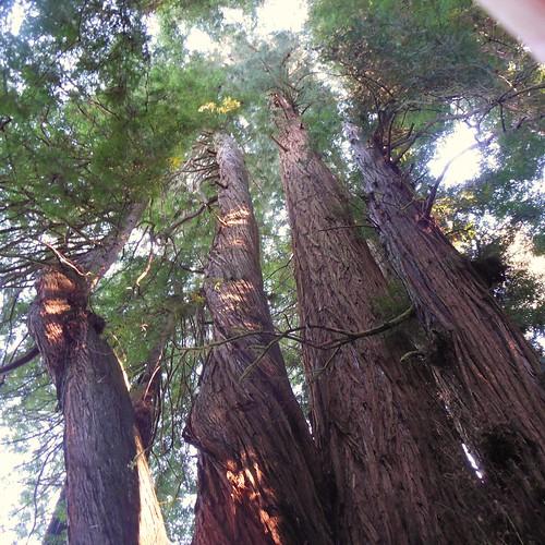 redwood redwoodtrees stoutgrove sequoia sequoiasempervirens jedediahsmithstatepark redwoodstateandnationalparks