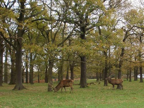 Stags Richmond Park
