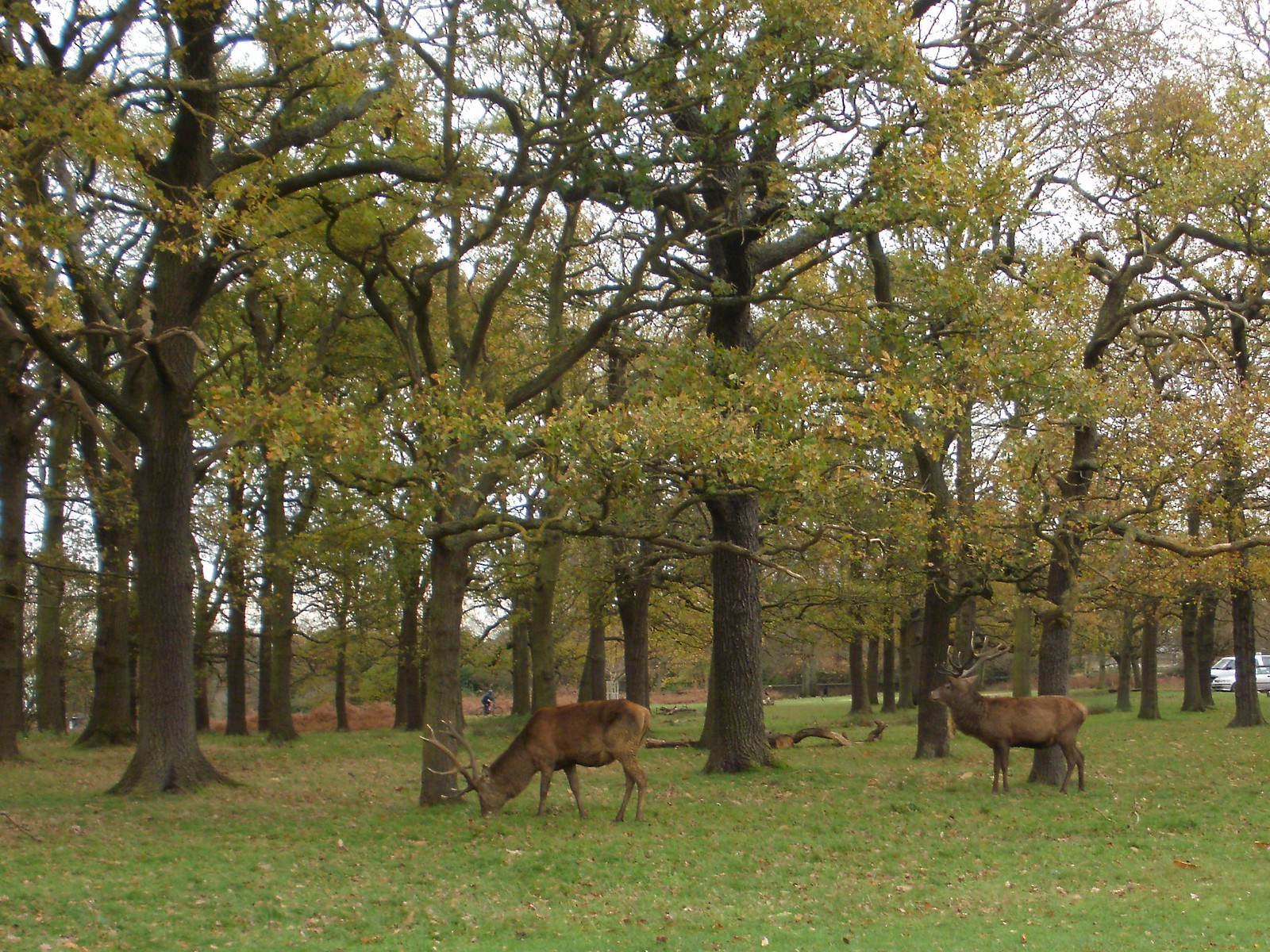 Stags Richmond Park OLYMPUS DIGITAL CAMERA