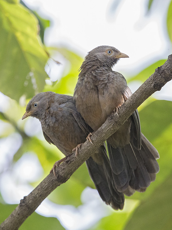 Yellow-billed Babbler    Sri Lanka