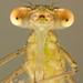 Spread-winged damselfly nymph (Lestidae) by Jan Hamrsky