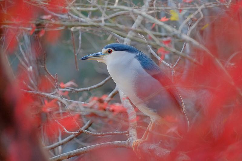 night heron 五位鷺(ゴイサギ)