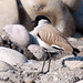 River Lapwing by VagrantWings @ Shalini Singh
