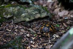 Turtle 1952