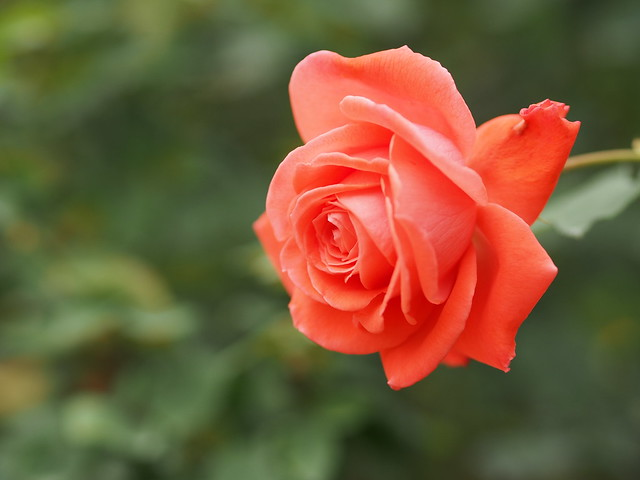 Photo:Rose, Inter Flora, バラ, インター フローラ, By T.Kiya