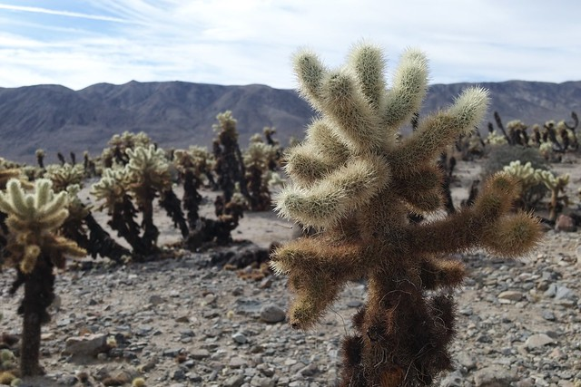 Cholla Cactus Garden, Joshua Tree National Park