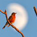 Supermoon Robin by NaturalLight