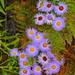 Arizona Fleabane - IMG_0834