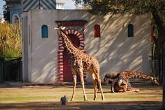 Giraffa camelopardalis reticulata DT [AR Zoo BBAA] (1)