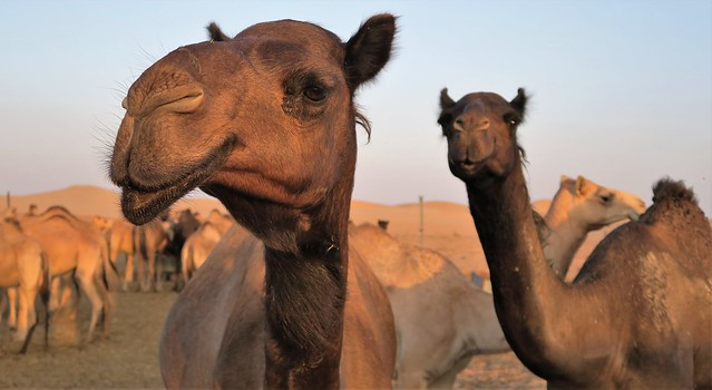 arabian nights village camel closeup
