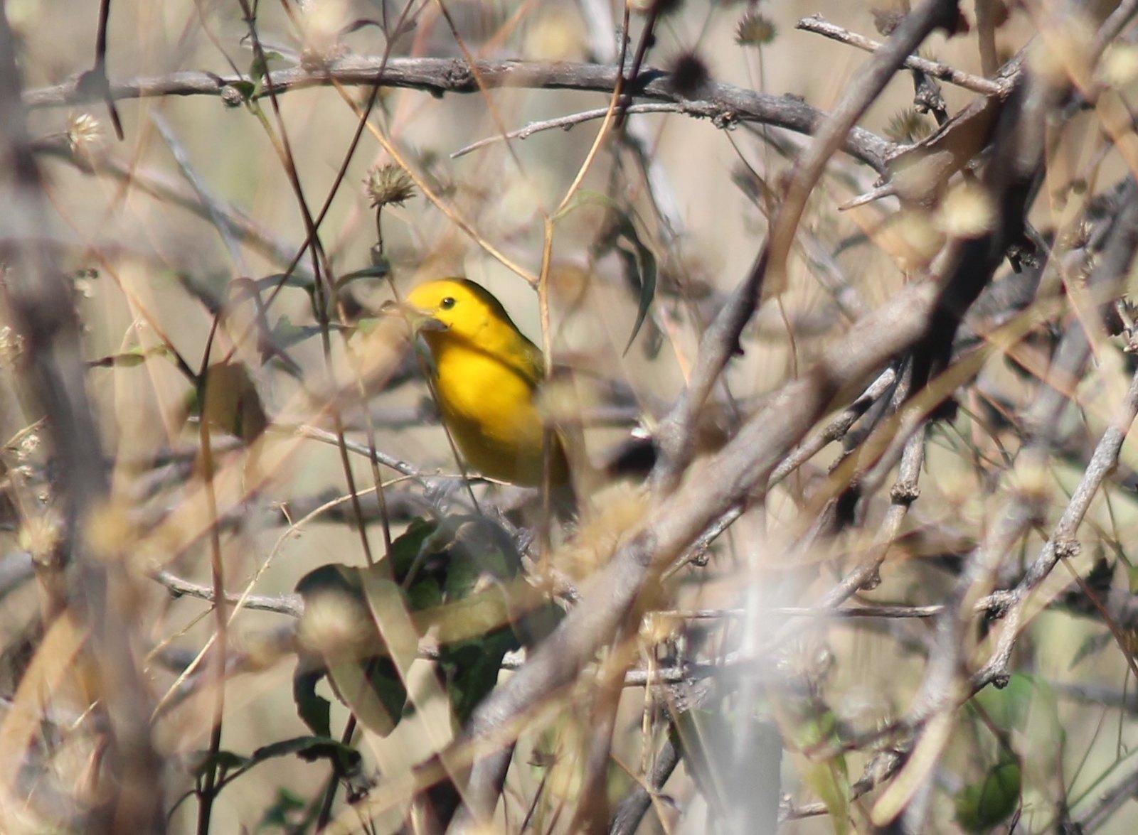 prothonotary warbler san pedro AZ