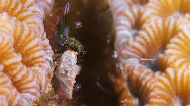 ハナミドリガイを食べようとオキナワキヌハダウミウシがアタック!なんとか振り切ってハナミドリガイは助かってました!