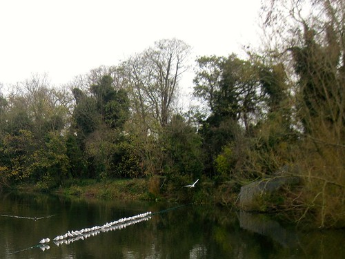 Line of White Birds on Hampstead Heath Ponds