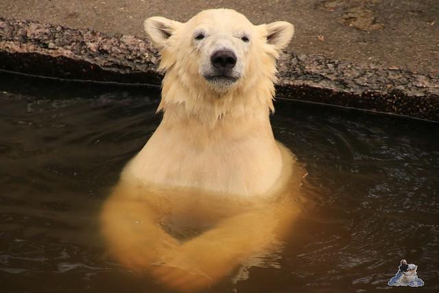 Eisbär Fiete imm Zoo Rostock 15.08.2015 Teil 2  224