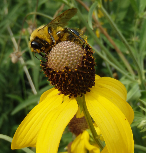bumblebee at the top of a yellow coneflower