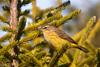 Palm Warbler by egdc211