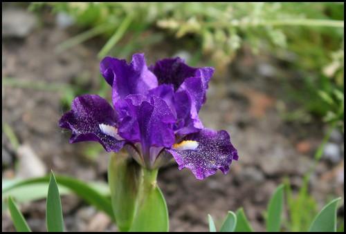 Iris Naos (2)