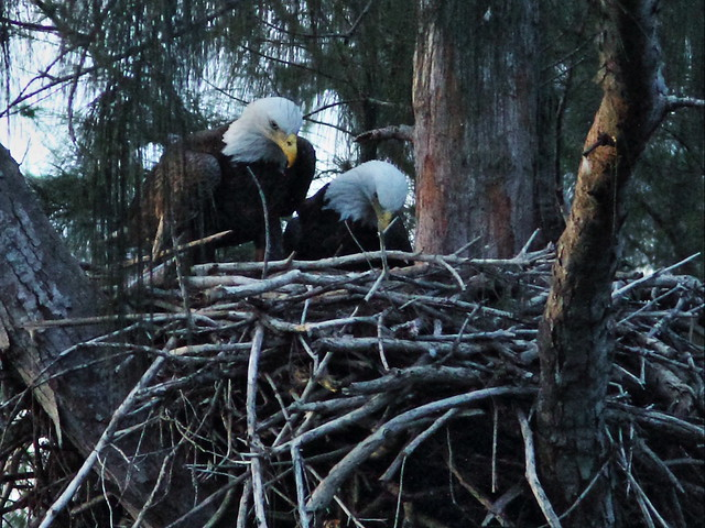 Bald Eagles L-R Female and male 20151024