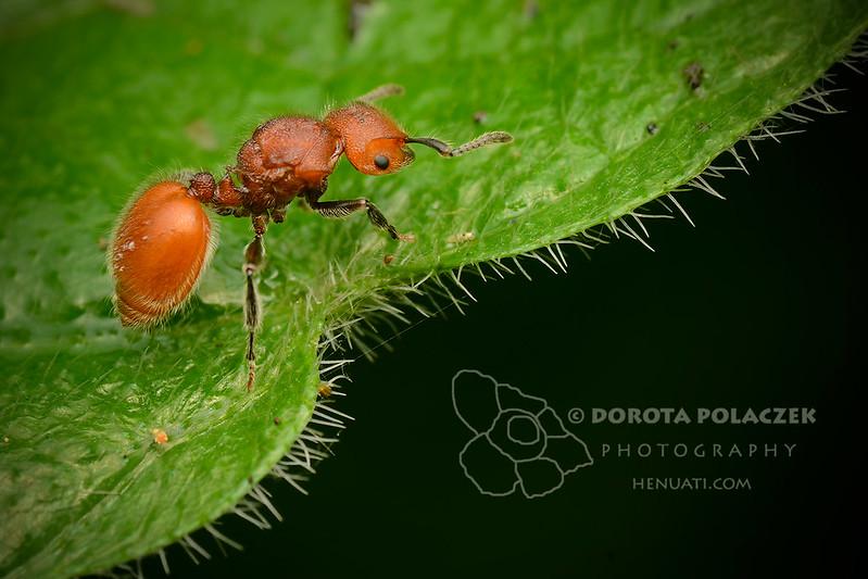 Ant from Borneo