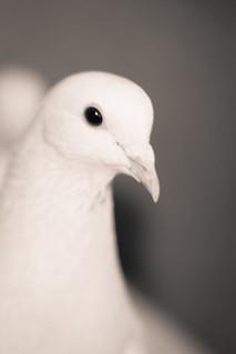 Staring pigeon