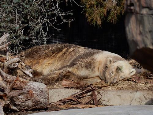 San Diego Zoo - vieze ijsbeer