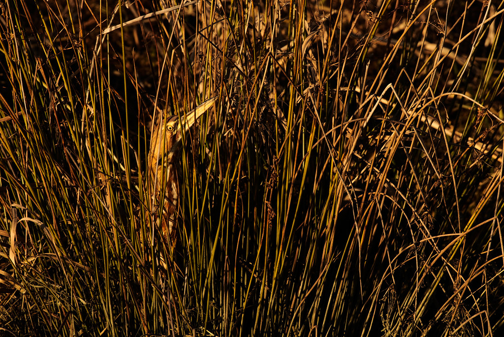 An American bittern hides in tall grasses