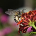 Osmia ape selvatica su lantana by 5348 Franco