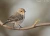 African Grey Flycatcher (Bradornis microrhynchus)