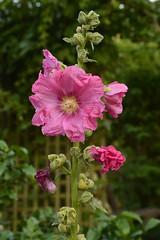 Variété de roses - Photo of Mareuil