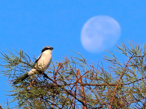 Shrike and Moon HDR 20161117