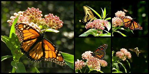 milkweed collage