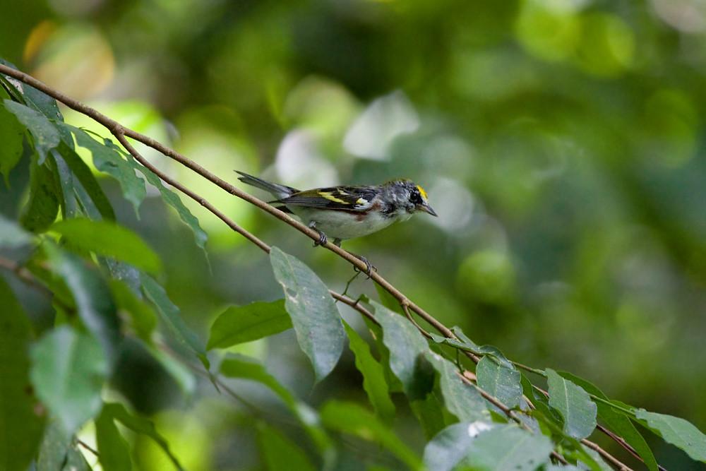 Желтошапочный лесной певун (Setophaga pensylvanica)