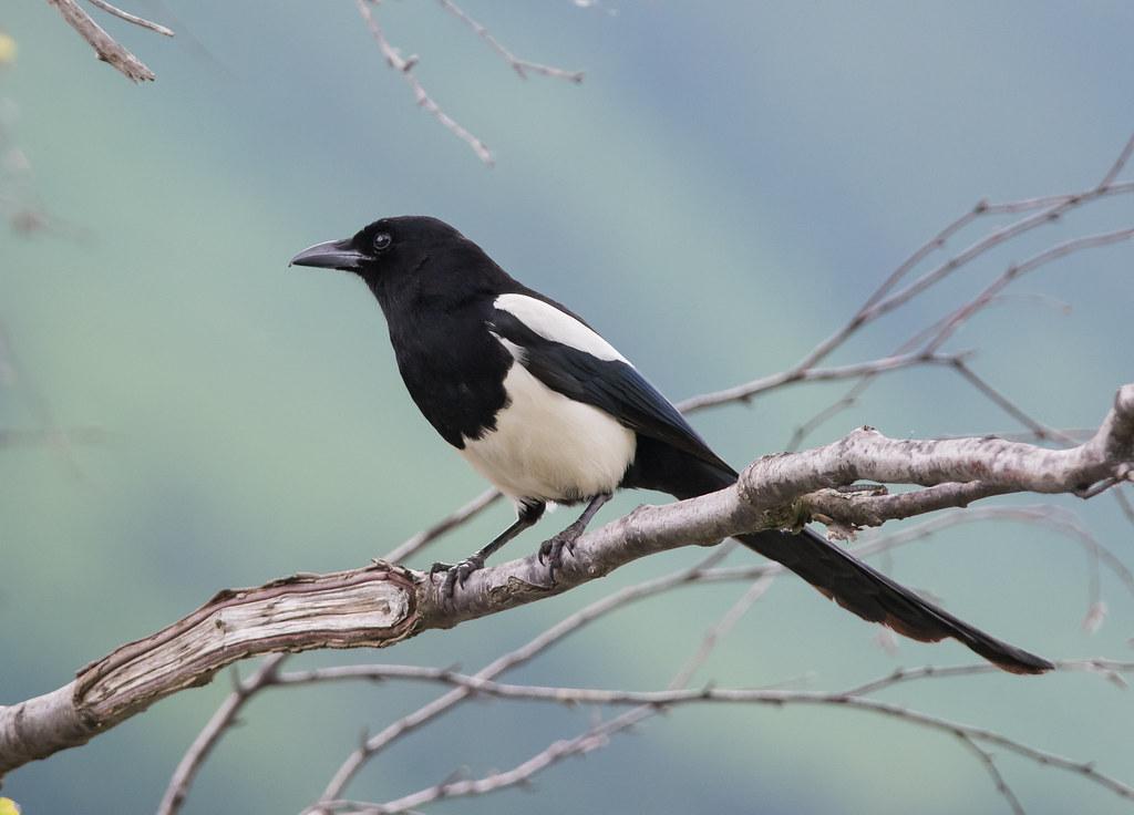 喜鹊 (Black-billed Magpie)
