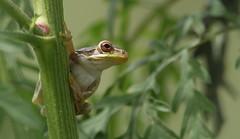 Cuban Treefrog juvenile, Timber Oaks Abandoned Golf Course