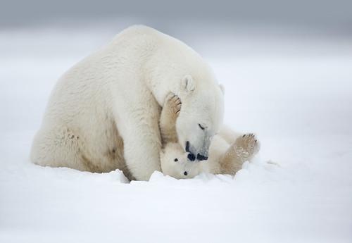 Polar Bear Sow and Cub