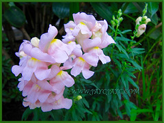 Pastel pink Antirrhinum majus (Common Snapdragon, Garden Snapdragon, Snapdragon, Dragon Flowers) in our garden border, Nov 30 2013
