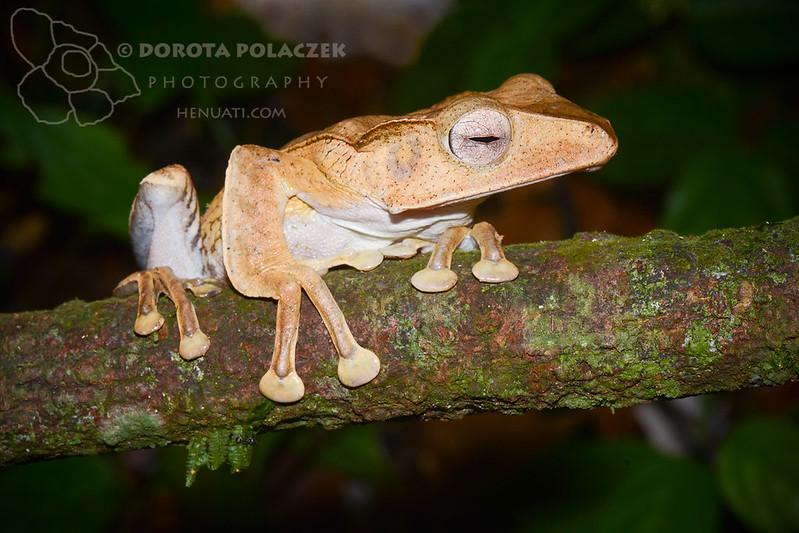 File-eared frog (polypedates otilophus)